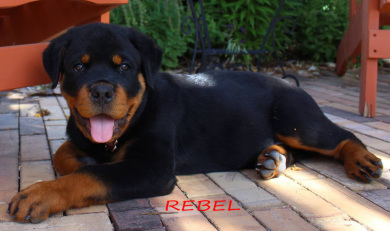 Colorado Rottweiler Puppies Denver For Sale From Vom Reece Haus