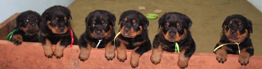 Colorado Rottweiler Puppies For Sale Vom Reece Haus Rottweilers